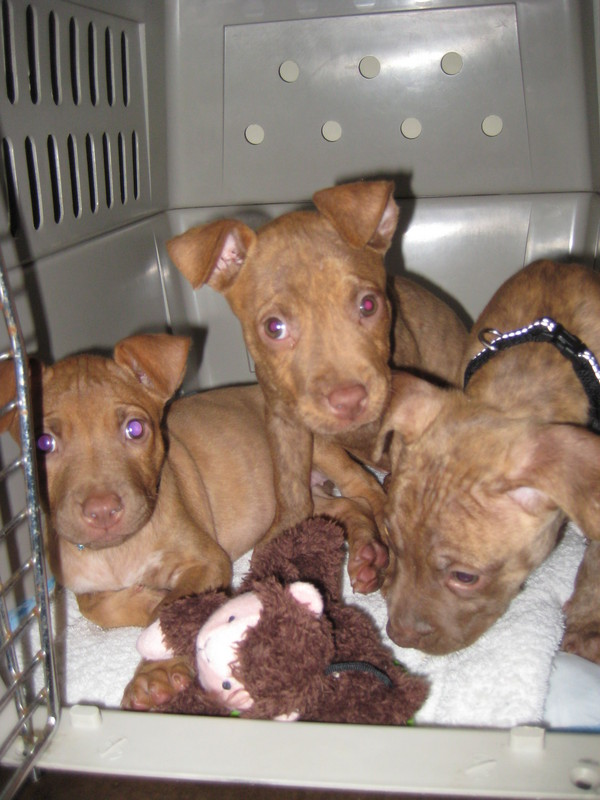 deb's foster puppies inky pinky and stinky in a kennel