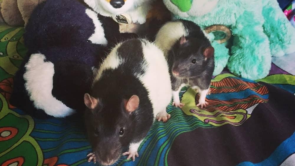 roxy's rats amongst some stuffed animals