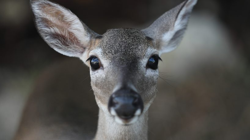 An up close photo of a deer's face. (Photo by Joe Raedle/Getty Images)