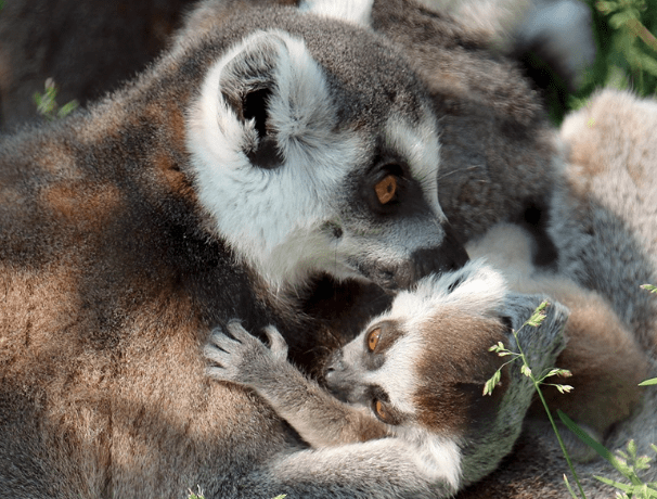 Ring-tailed lemur Teagan cuddles one of her newborn babies at the Indianapolis Zoo.