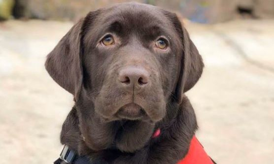 Allie, a chocolate lab in a red vest.