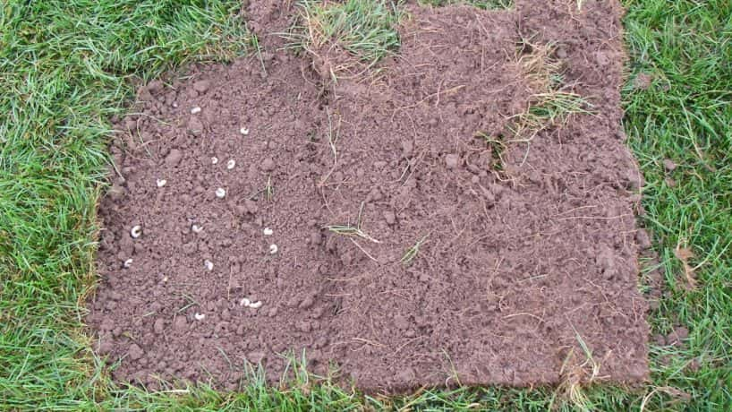 Grass pulled back to show grubs in dirt