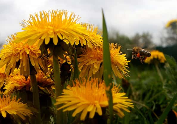 close up of a bee flies to a small group of dandelions