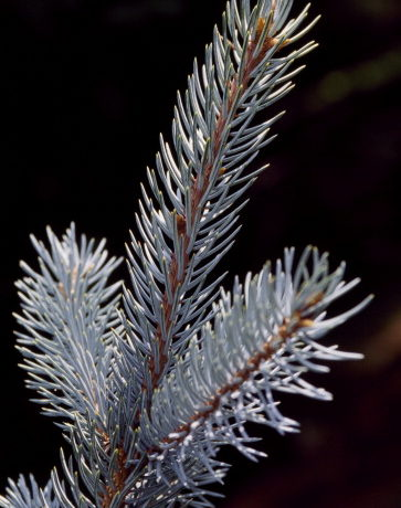 Colorado Blue Spruce leaves (Picea pungens)