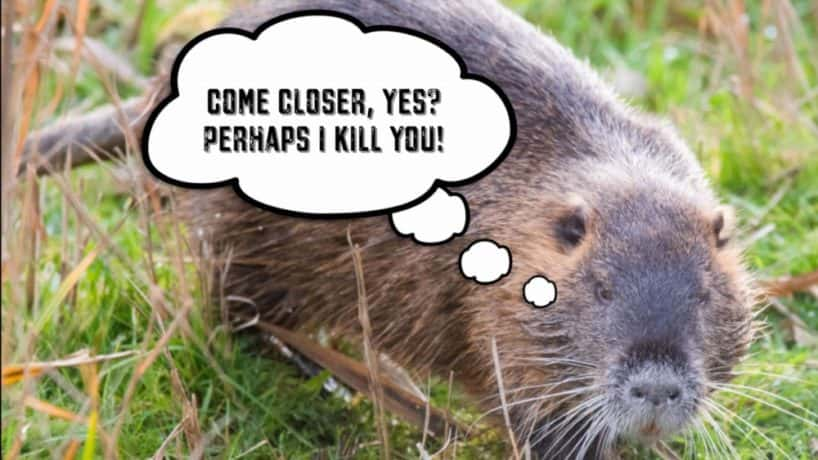 Giant Rodent of Unusual Size Walks Through a Field in Search of Food.