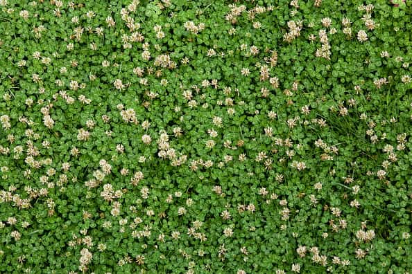 Above view of white clover