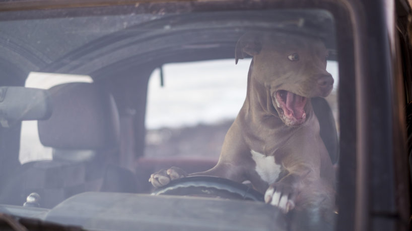 crazy and funny image for traffic and stress concept with dog driving a car and shouting a lot to the other drivers - traveling and transportation image fun and craziness with puppy