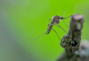 A mosquito of the species Aedes vexans is hanging from a branch.