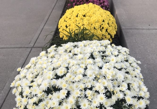 Row of four mums, white, yellow, purple, and bronze, planted in a bed by a driveway.