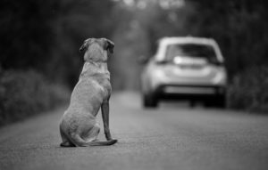 Labrador Dog Watches a Vehicle Drive Away.