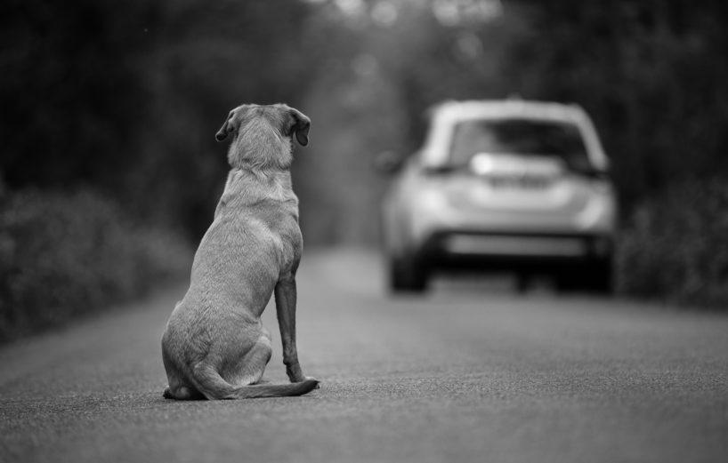 Labrador Dog Watches a Vehicle Drive Away.