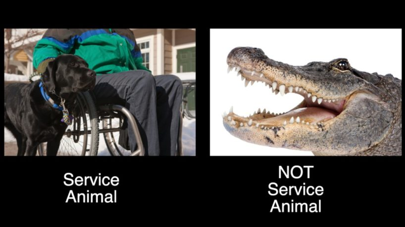 "An Alligator and a Black Labrador are pictured with text reading: ""Service Animal"" under the dog and ""Not Service Animal"" written under the Alligator"