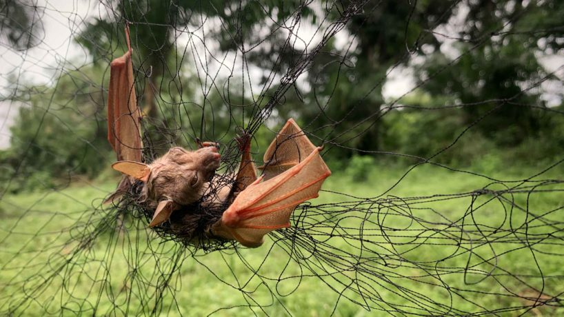 Live bat, trapped by ecologists in the forest outside Mbandaka, to later test for Corona Viruses and Ebola.