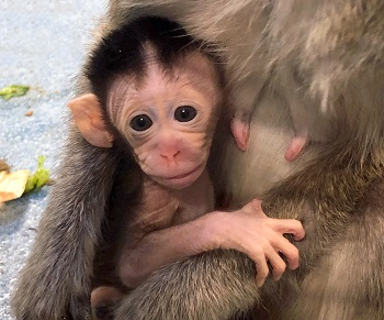 A baby macaque being held by its mother
