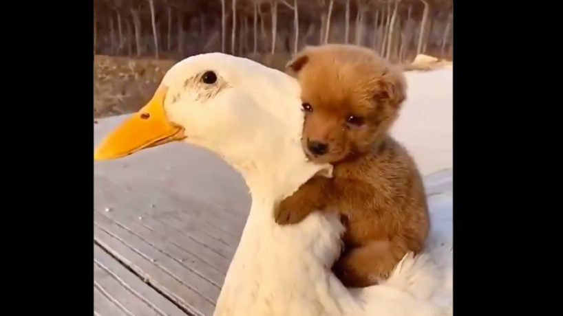 A puppy climbs onto the back of a duck and gives him a hug.