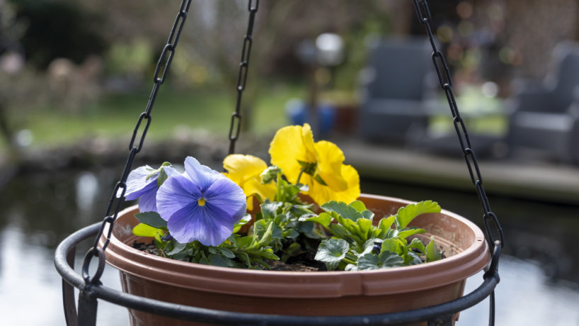 Hanging basket trimmed up with purple and yellow pansy