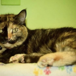 cat named Gidget available to adopt