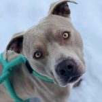 Blues Clues – Pit Bull – 3-years-old