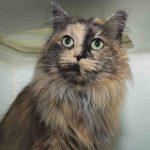 Merida – Domestic Longhair – 6-years-old