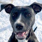 Diamond – Pit Bull Terrier – 10-months-old