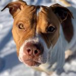 Chicory – Pit mix – 2-years-old