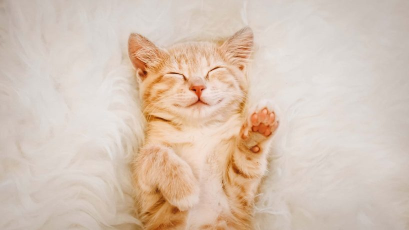 Cute, red kitten is sleeping on his back and smiling, paws up.