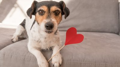 Jack Russell Terrier dog. Lovable dog is holding a heart to the Valentine's Day in the mouth