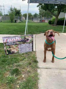 Tank the adoptable dog!
