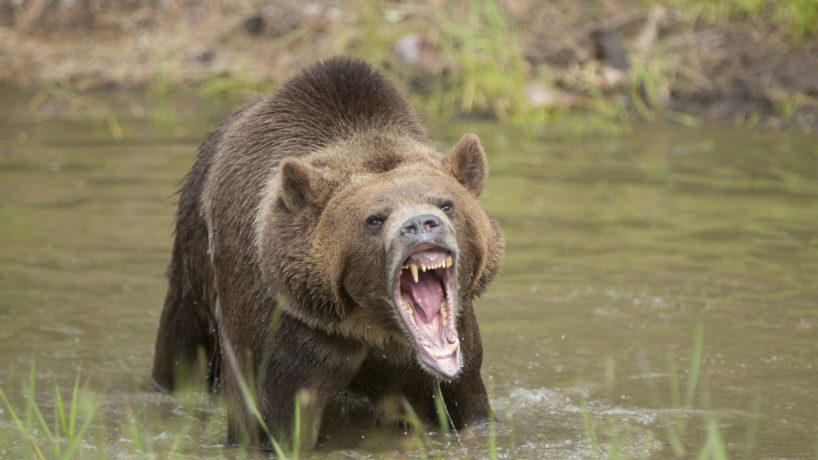 Grizzly bear in water growling, mouth open