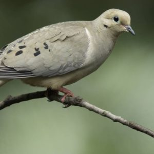 Mourning Dove-MDC