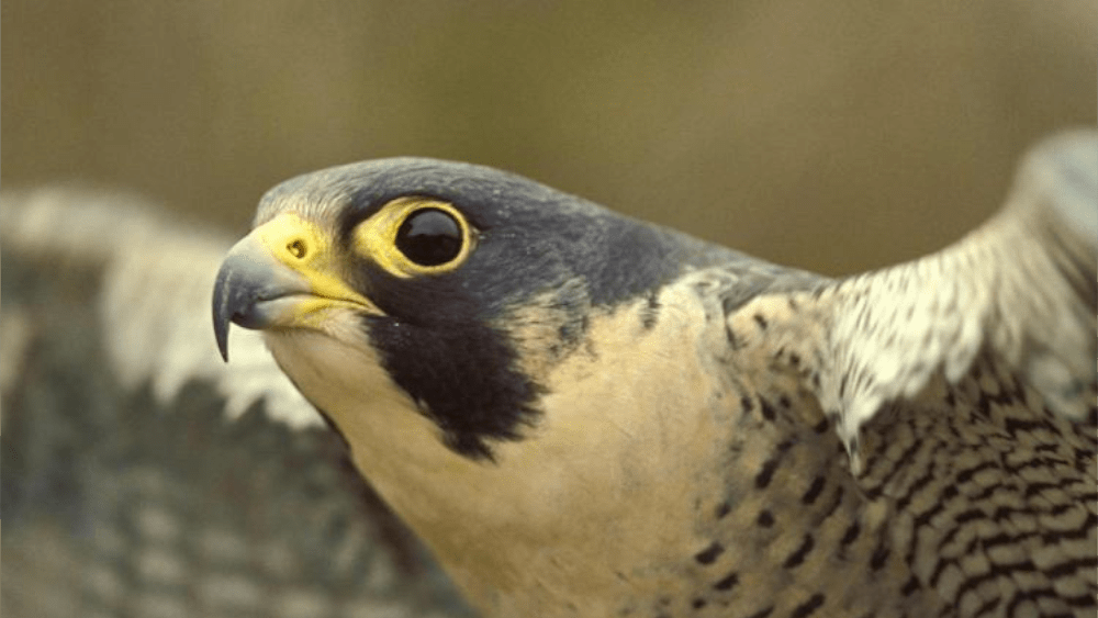 MDC TO REMOVES PEREGRINE FALCONS FROM STATE ENDANGERED SPECIES LIST