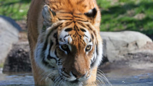 Tiger At NYC's Bronx Zoo Tests Positive For Covid-19