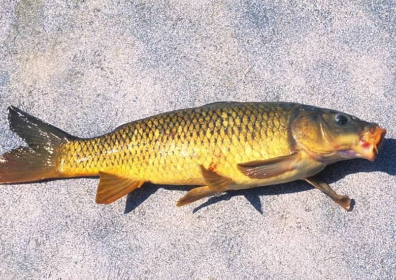 MDC proposes regulation changes for more uses of grass carp, common carp, including as live bait