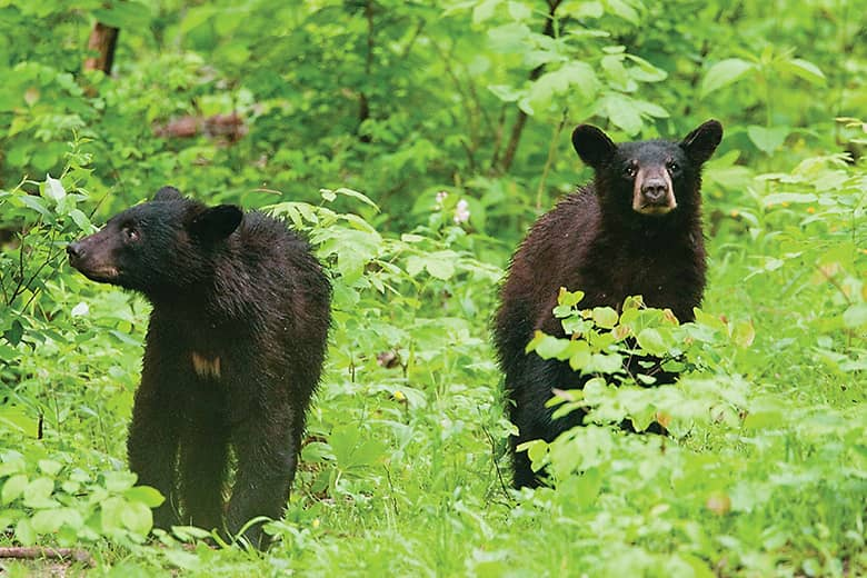 After bear sightings in St. Louis counties, MDC biologists say don't feed them