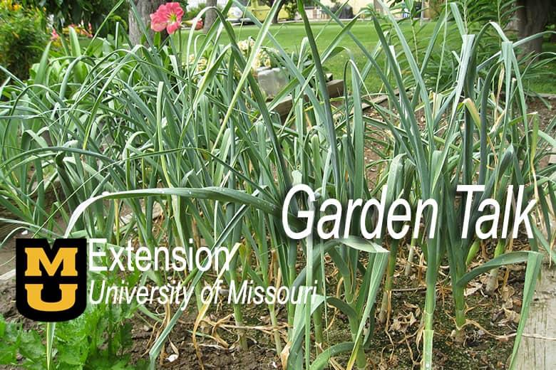 Prime time for garlic planting