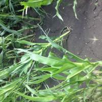 Crop-Damage-7-7-16-029.jpg