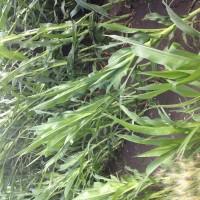 Crop-Damage-7-7-16-030.jpg