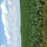 Crop-Damage-7-7-16-007.jpg