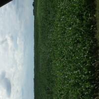 Crop-Damage-7-7-16-013.jpg