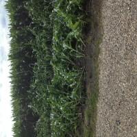 Crop-Damage-7-7-16-026.jpg