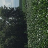 Crop-Damage-7-7-16-022.jpg