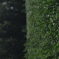 Crop-Damage-7-7-16-023.jpg