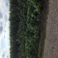 Crop-Damage-7-7-16-028.jpg