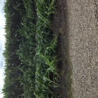 Crop-Damage-7-7-16-027.jpg