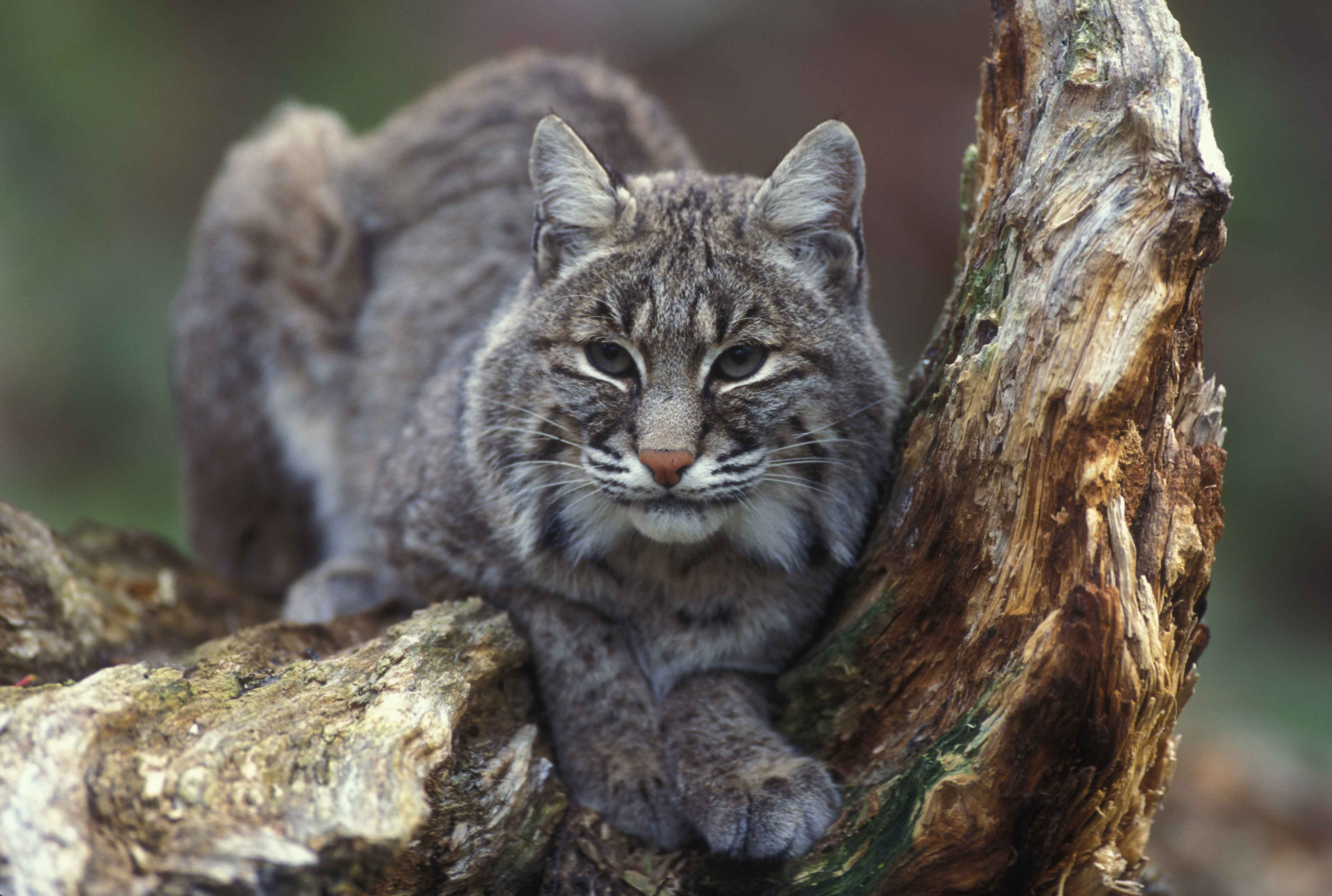 Quinn Vetoes Bill to Allow Bobcat Hunting in IL | Newsradio WJPF