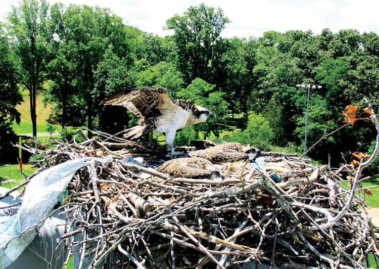 Three fledgling ospreys in their nest atop the lights at Byram Field. (Anne W. Semmes photo)