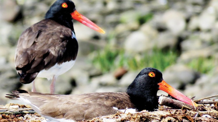 The American Oystercatcher. (photo courtesy of Patrick Comine / Aubudon Connecticut)