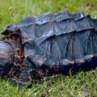 Alligator Snapping Turtle Photo USGS.gov