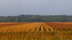 Picture By Carl Wycoff, Corn Field In Iowa
