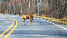 Deer Crossing A Road